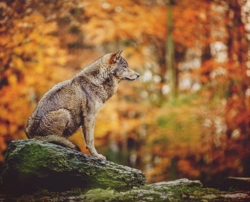 Wolf Sitting on the Stone in Autumn Forest.