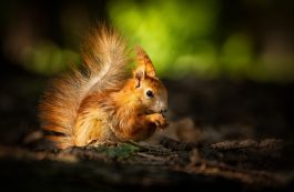 Cute young red squirrel in a natural park in warm morning light.